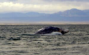 surfacing gray whale