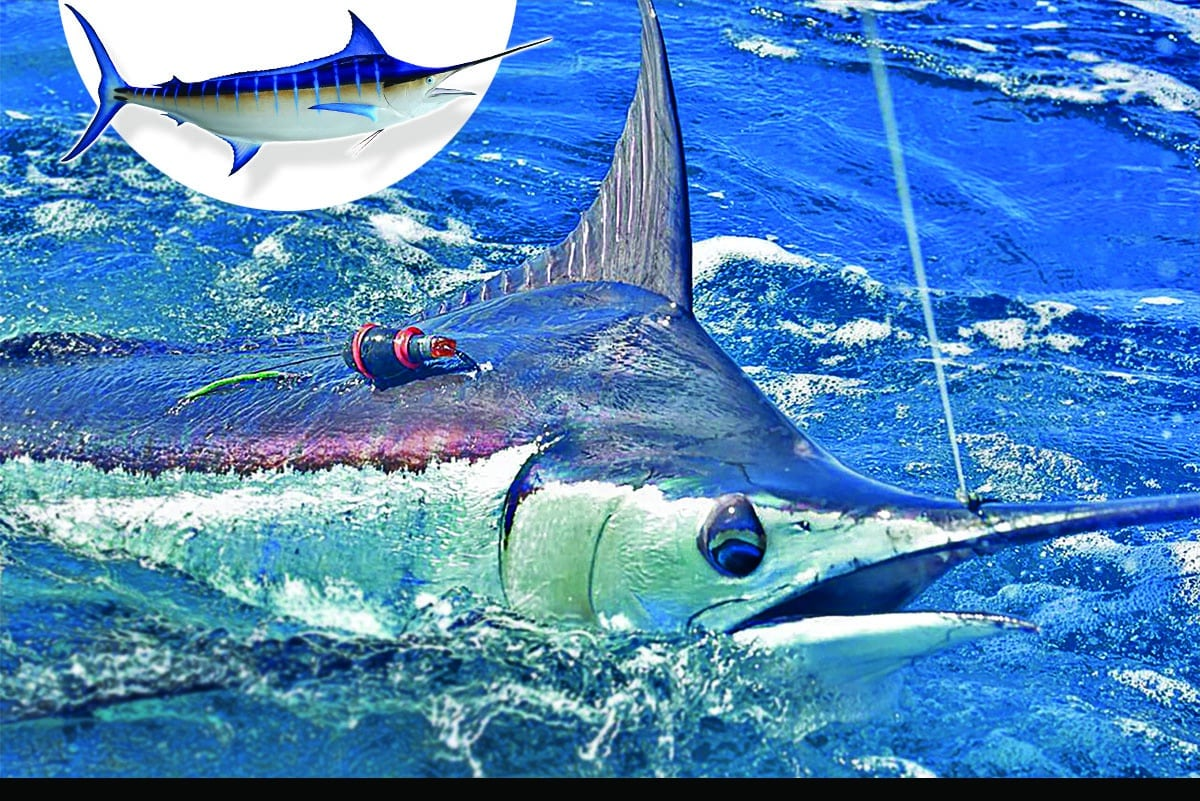 satellite tagging blue marlin