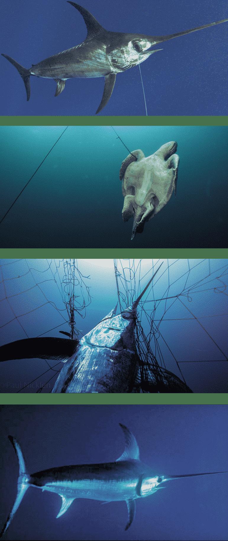 swordfish gill net