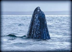 gray whale spy-hoppimng
