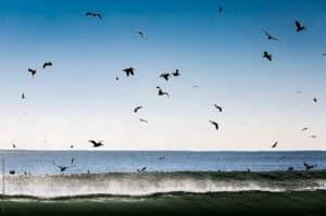 Baja feeding pelicans