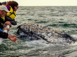 petting gray whale