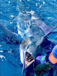 Los Cabos blue marlin
