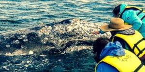 Guerro Negro whale