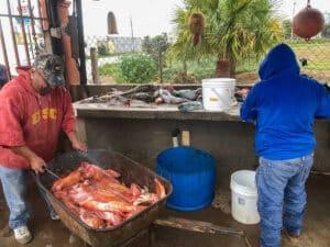 San Quintin rockfish