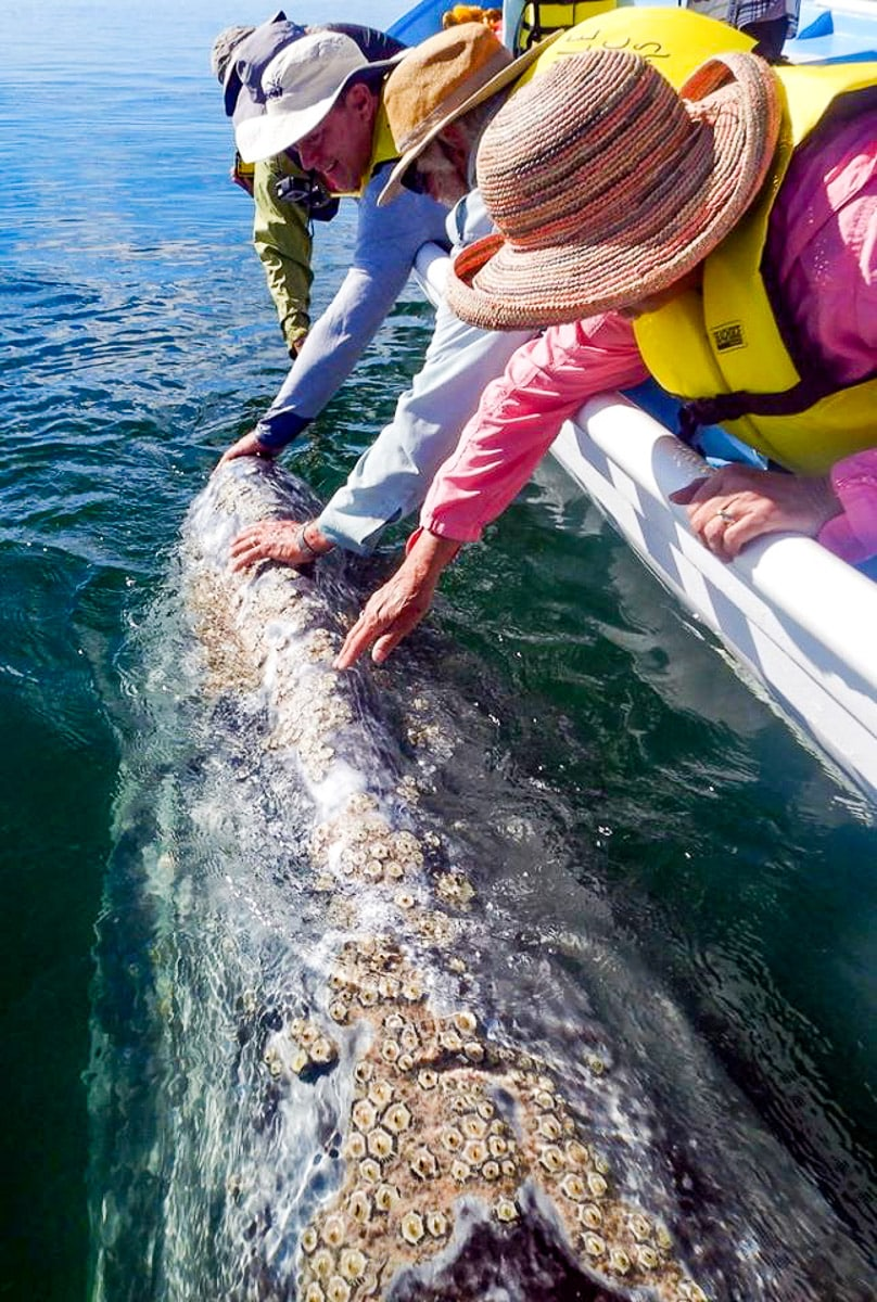 gray whale petting