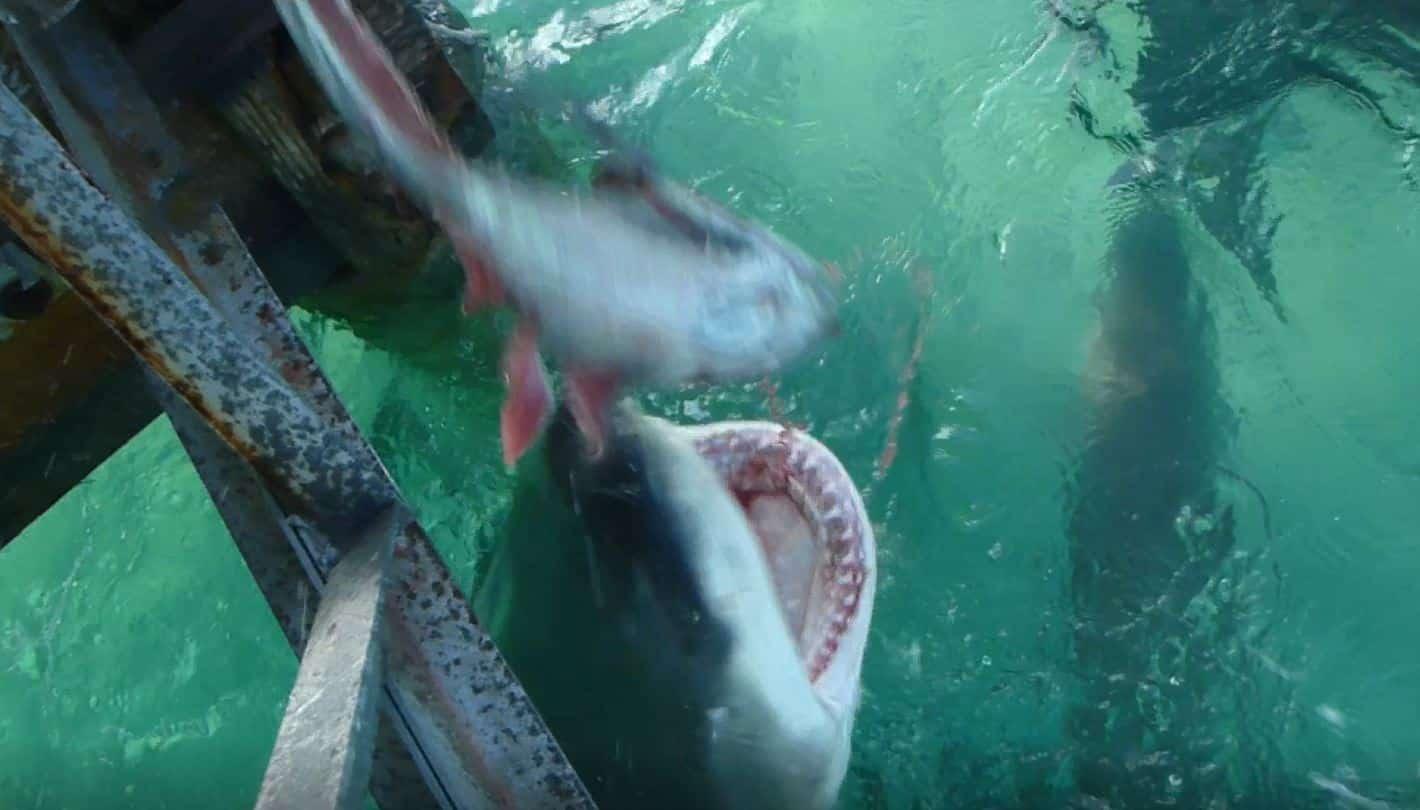 Bahamas Shark Frenzy