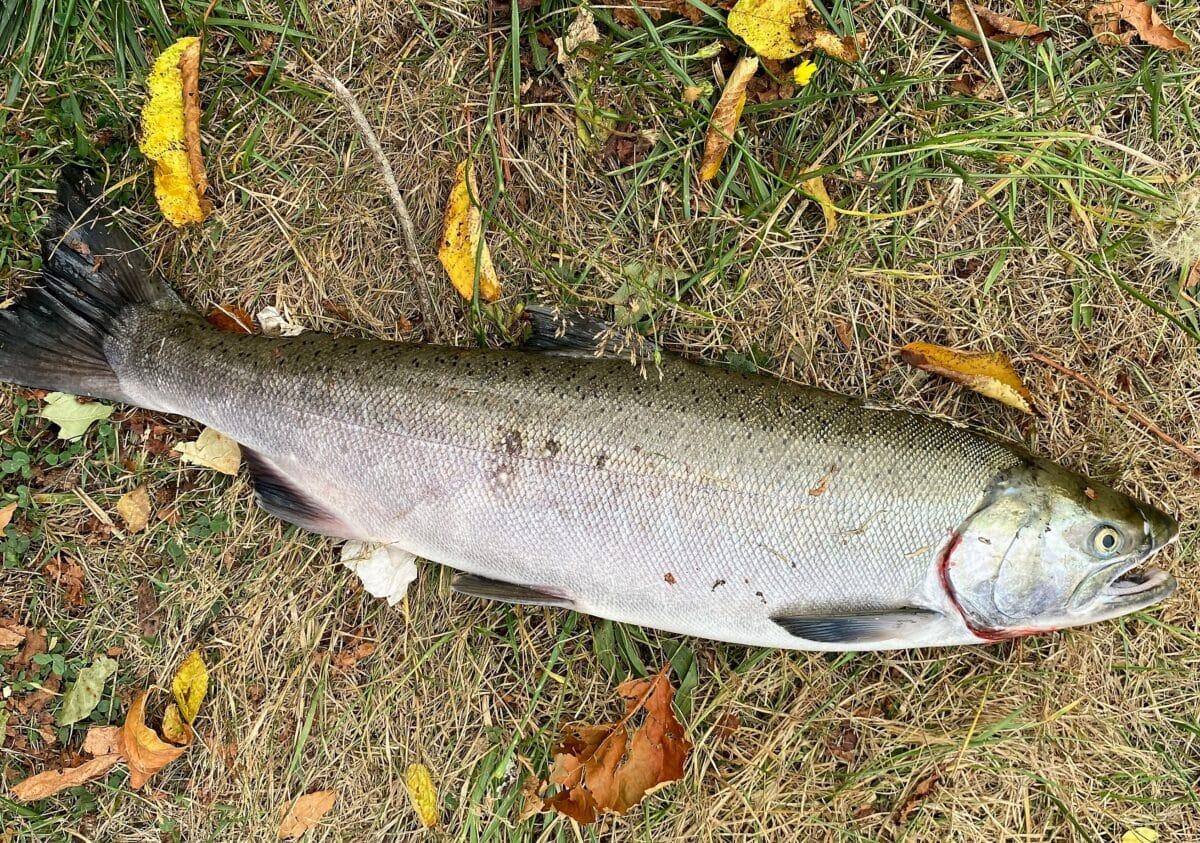 fall salmon run