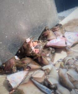 saltwater bass fishing