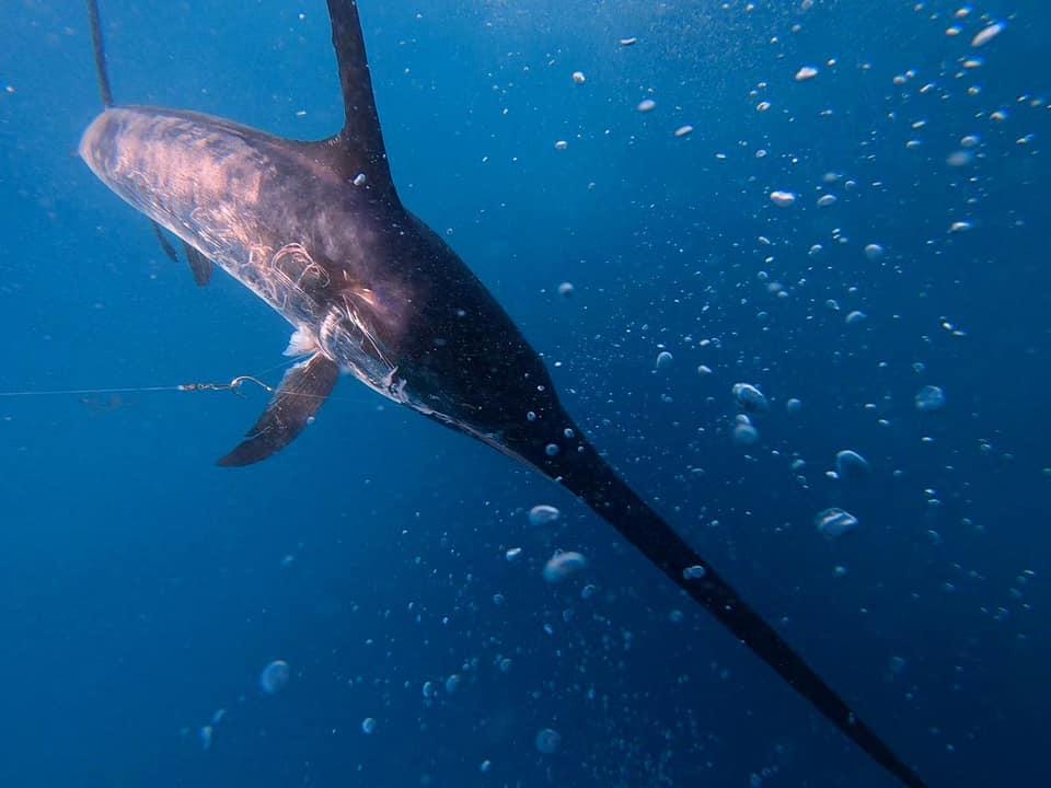 swordfish from Pisces sportfishing