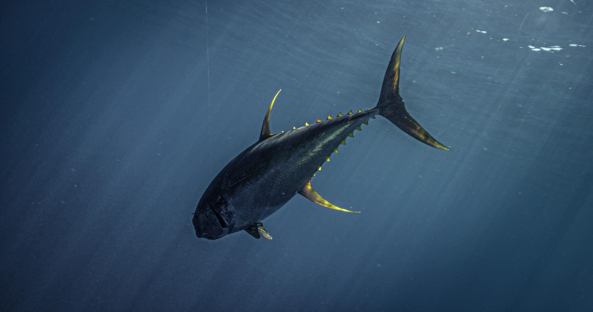 Yellowfin Tuna Underwater