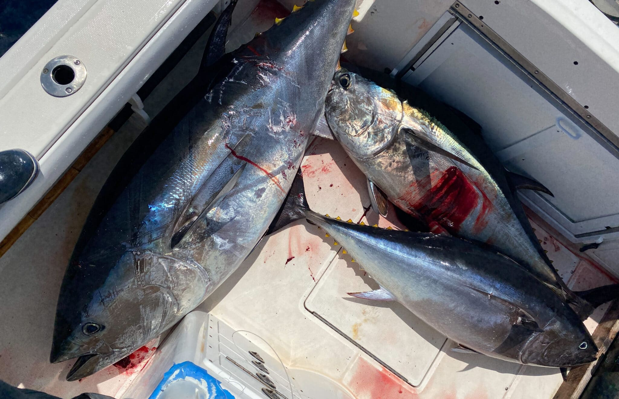 Post of the Week Bluefin