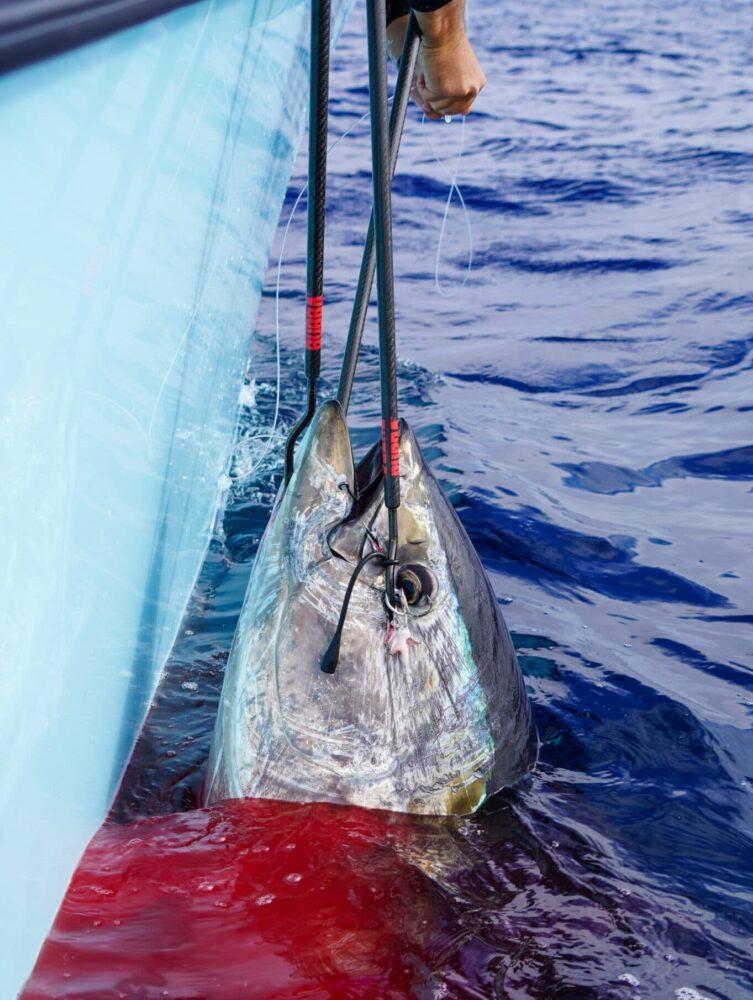 Bluefin Gaff Shot